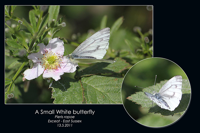 Small white - Exceat - 13.5.2011