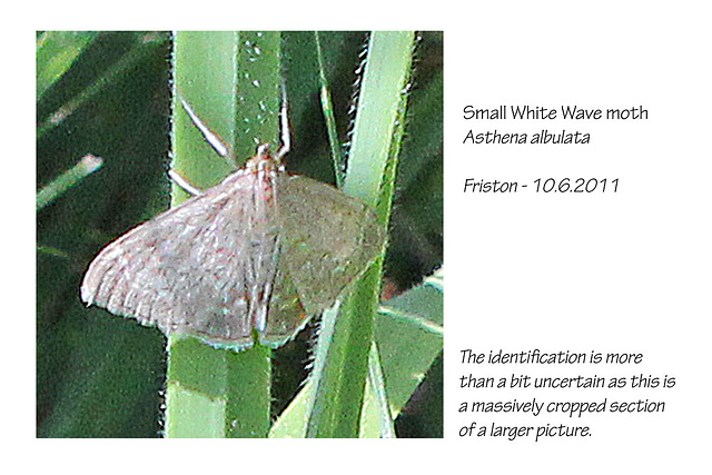Small White Wave moth Friston 10 6 2011