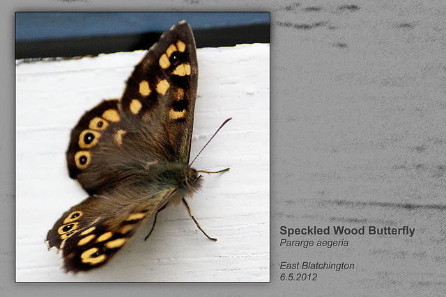 Speckled Wood  E Blatchington 6 5 2012