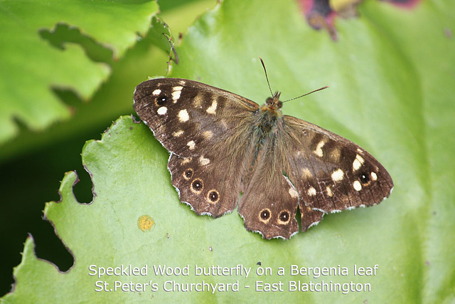 Speckled Wood - East Blatchington - 21.8.2011