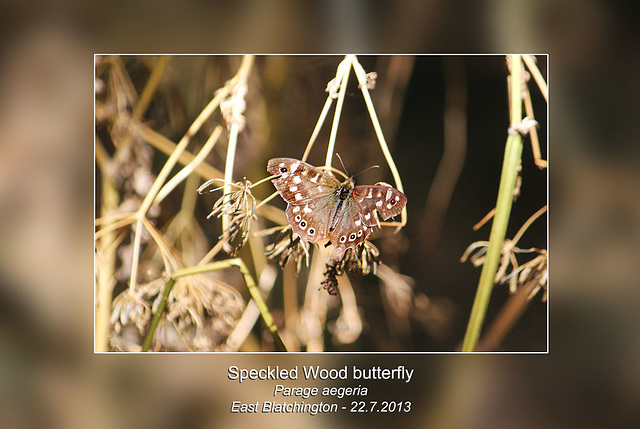 Speckled Wood - East Blatchington - 22.7.2013