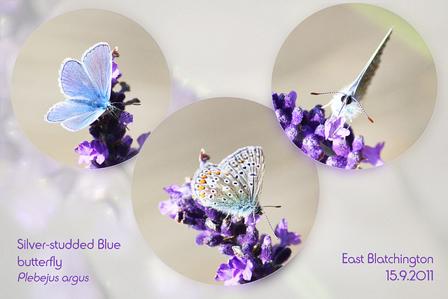 Silver-Studded Blue - 15.9.2011