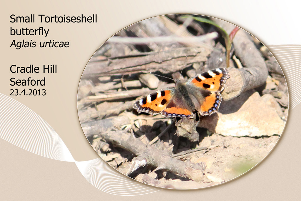 Small Tortoiseshell butterfly - Cradle Hill - 23.4.2013