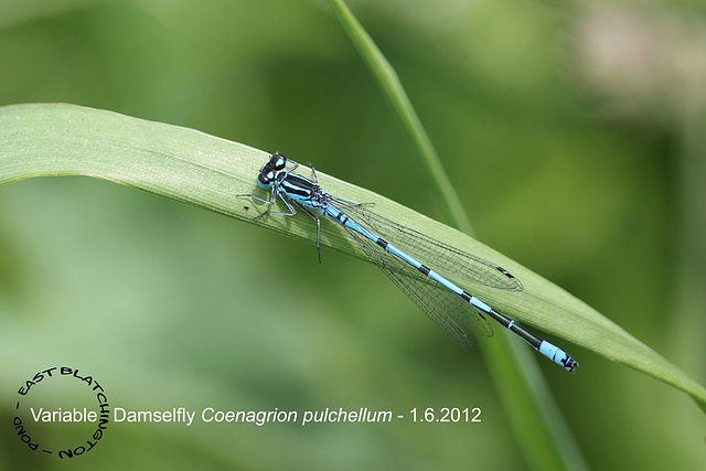 Variable Damselfly - East Blatchington Pond - 1.6.2012