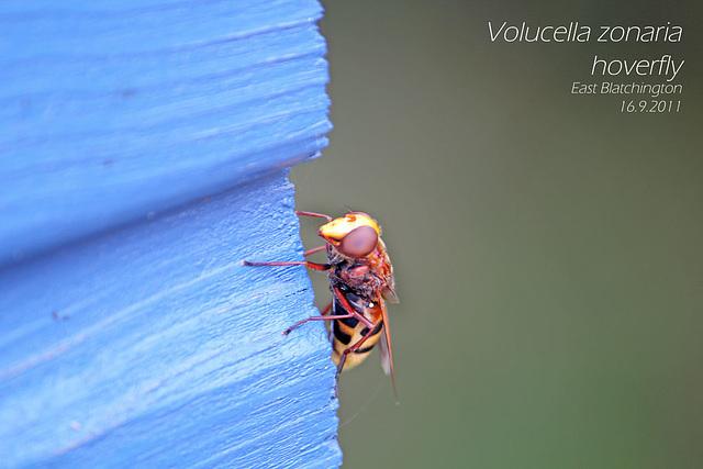 Volucella zonaria hoverfly EB 16 9 2011