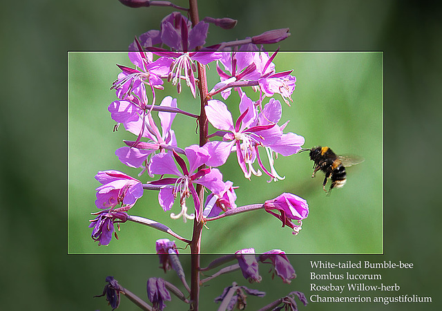 White-tailed Bumble-bee on a Rosebay Willow-herb - East Blatchington Pond - 22.7.2013