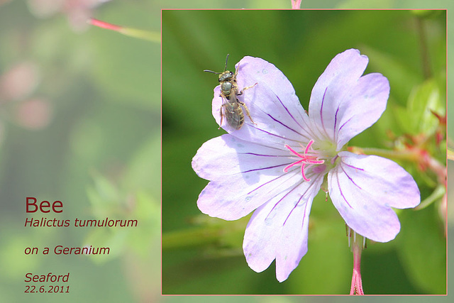 Bee - Hilictus tumulorum - Seaford - 22.6.2011