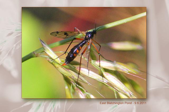 zzzzzzzzz a maybe crane fly - 9.6.2011
