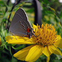 Grey Hairstreak Butterfly Spherize with texture
