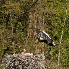 HINDLINGEN: Cigognes dans leur nid.