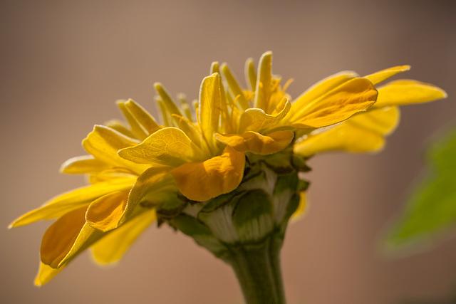 Beautiful Yellow Zinnia