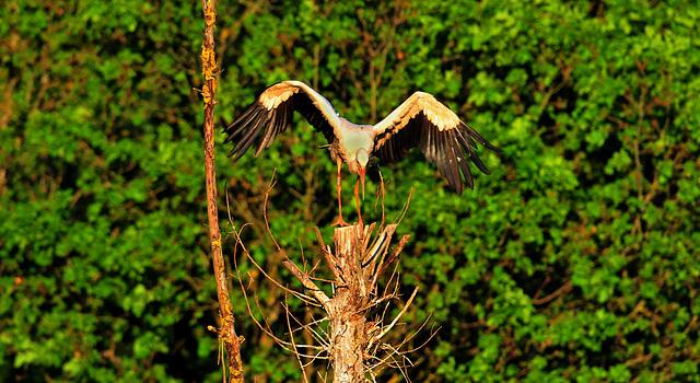 HIDLINGEN: Atterrissage d'une cigogne sur un arbre.