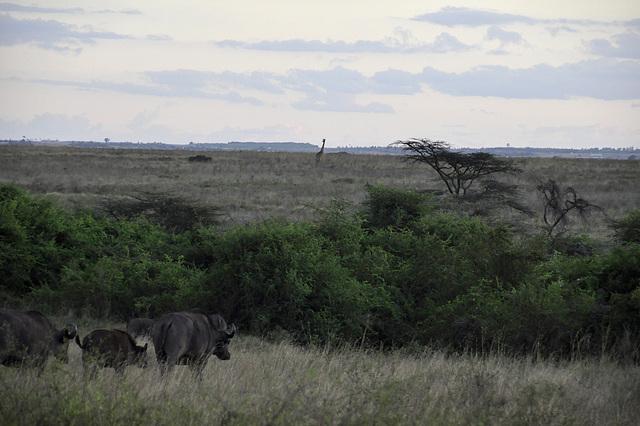 Kaffernbüttfel und Giraffe