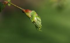 Lime bud