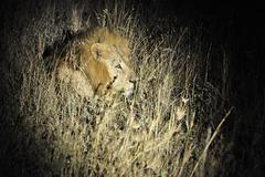 Löwe - im Spotlight