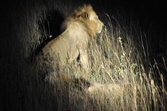 Löwe - leider bewegt...