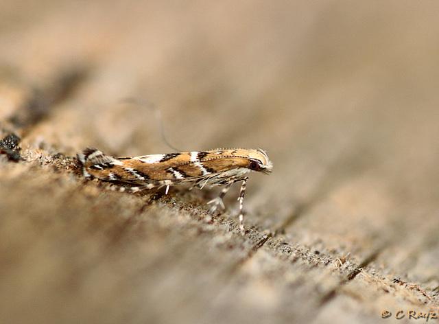 Acrocercops brongniardella