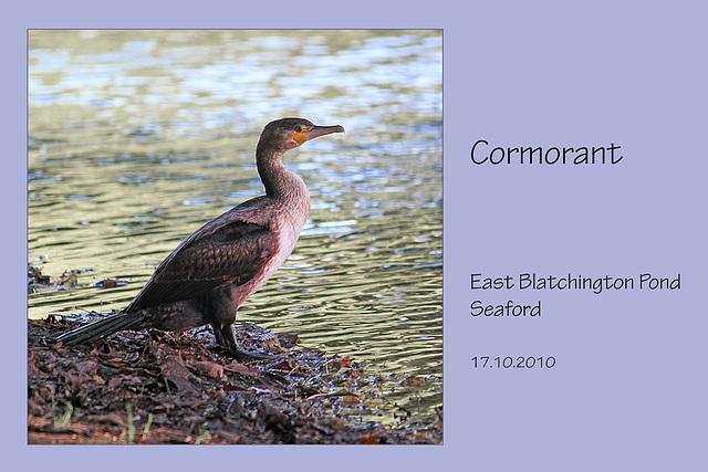Cormorant - East Blatchington Pond - 16.10.2010