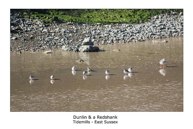 Dunlin & Redshank Tidemills 7 3 2011