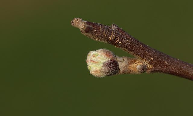 Apple bud