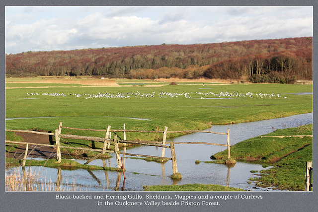 Gulls, ducks etc - Cuckmere - Friston Forest - 16.12.2011