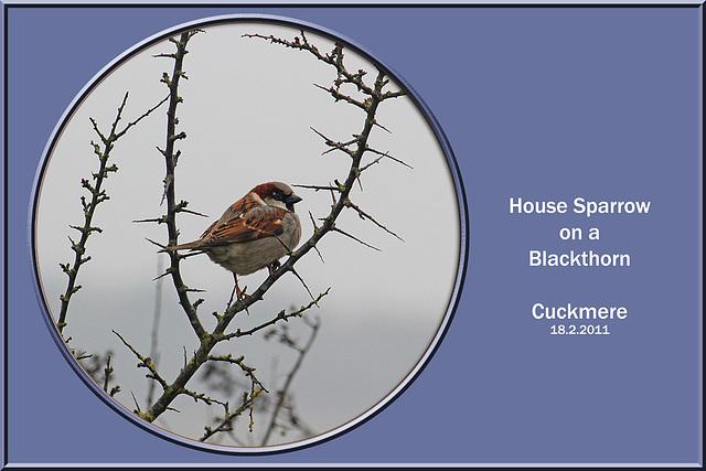 House Sparrow on Blackthorn Cuckmere 18 2 2011