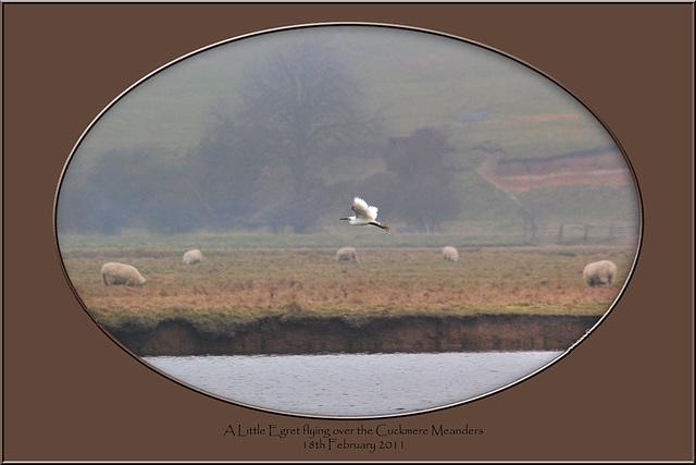Little Egret flying Cuckmere 18 2 2011