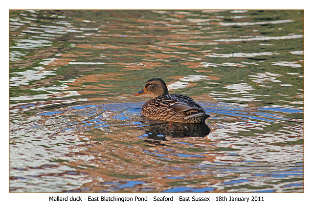 Mallard duck EB pond 18 1 11