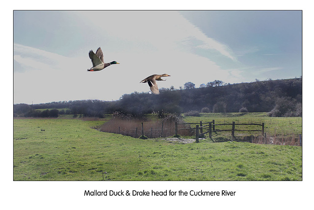 Mallards head for the Cuckmere - 11.3.2011
