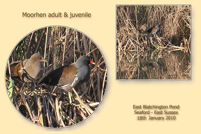 Moorhen & juvenile - East Blatchington Pond - 18.1.2011
