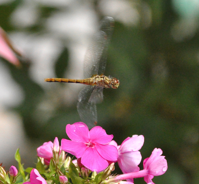 meadowhawk in flight DSC 5562