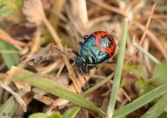 Blue Shieldbug Nymph