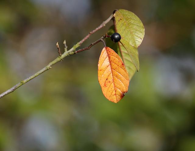 Alder buckthorn (Frangula alnus) leaves