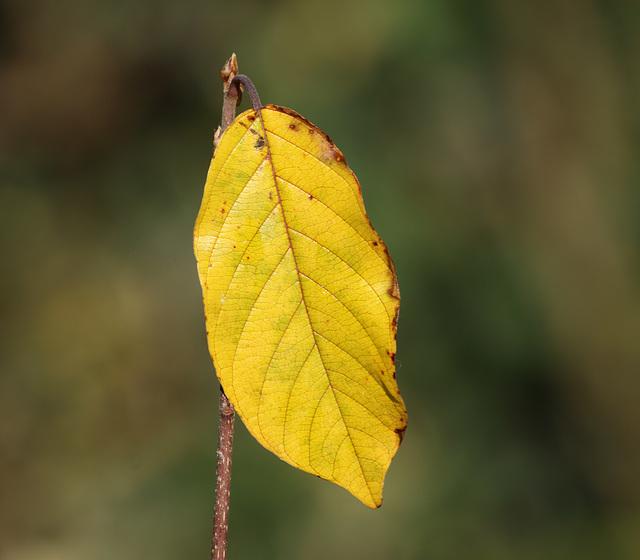 Alder buckthorn (Frangula alnus) leaf