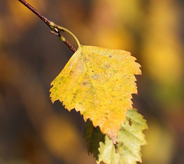 Silver birch leaves