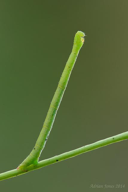 Geometrid Moth Larva.