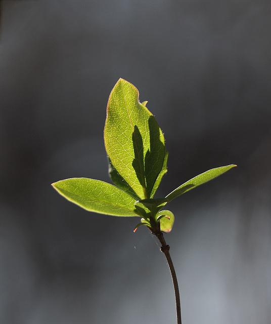Wild honeysuckle leaves
