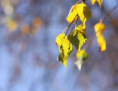 Silver birch leaves