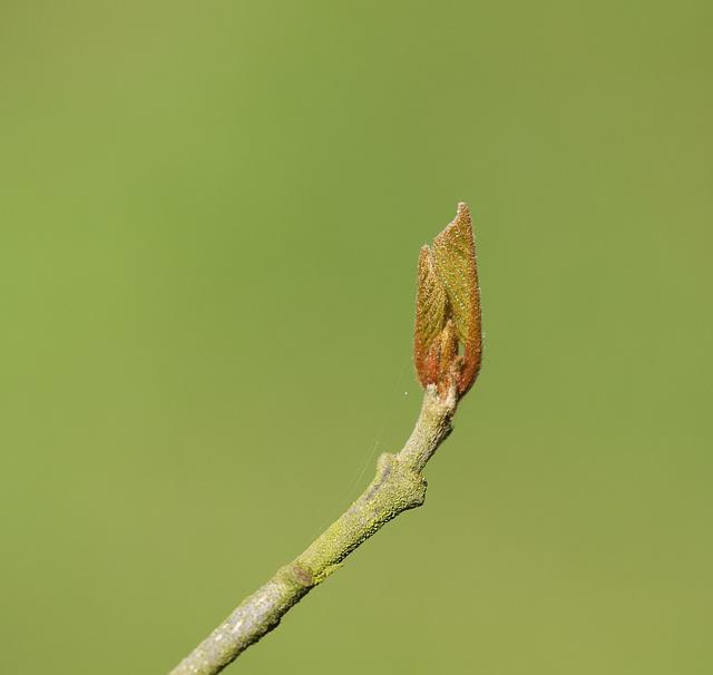 Alder buckthorn (Frangula alnus) shoot
