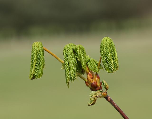 Horse chestnut (Aesculus hippocastanum) leaves