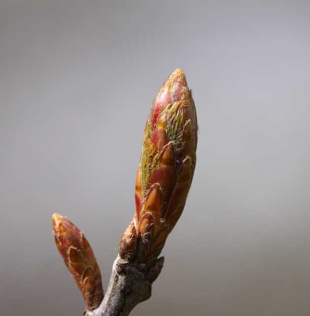 Red Oak bud