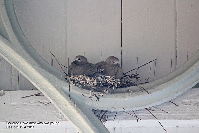 Collared Dove nest with 2 young Seaford 12 4 2011