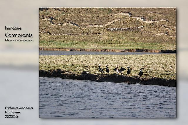 Cormorants 7 Sisters 23 2 2012