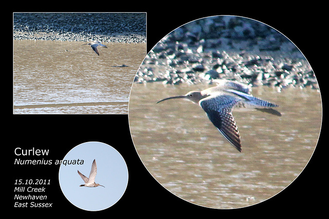 Curlew - Mill Creek - Newhaven - 15.10.2011