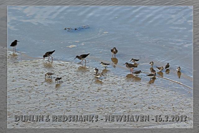 Dunlin & Redshanks - Denton Island - 16.3.2013