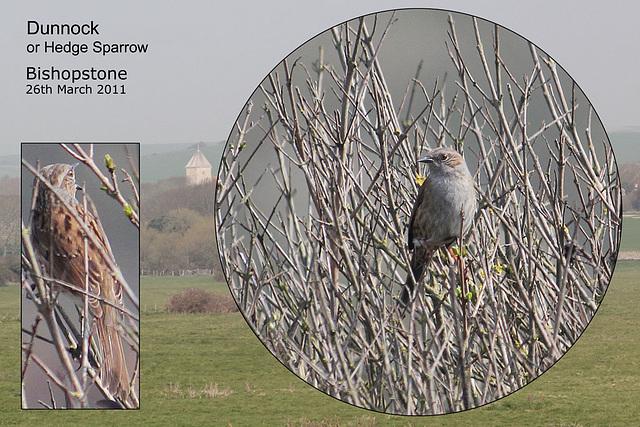 Dunnock or Hedge Sparrow Bishopstone 26 3 2011