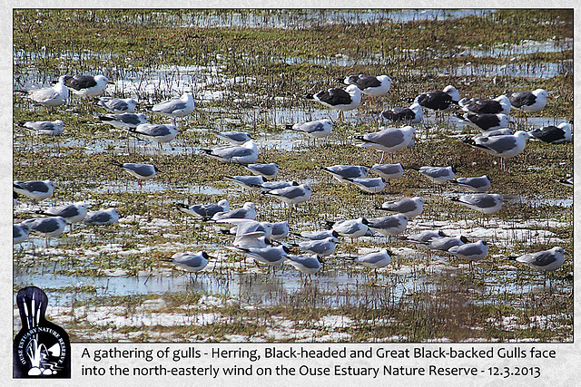 Gathering of gulls - Ouse Estuary Nature Reserve - 12.3.2013
