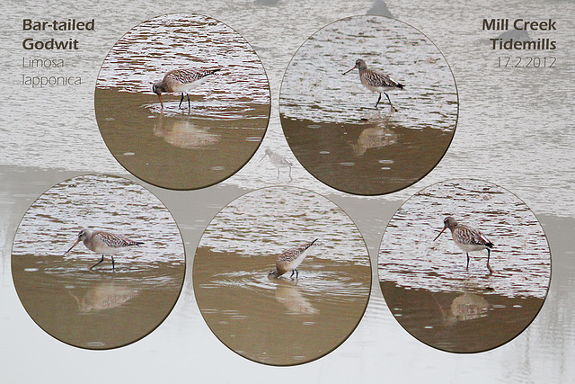 Bar-tailed Godwit - Tidemills - East Sussex - 17.2.2012