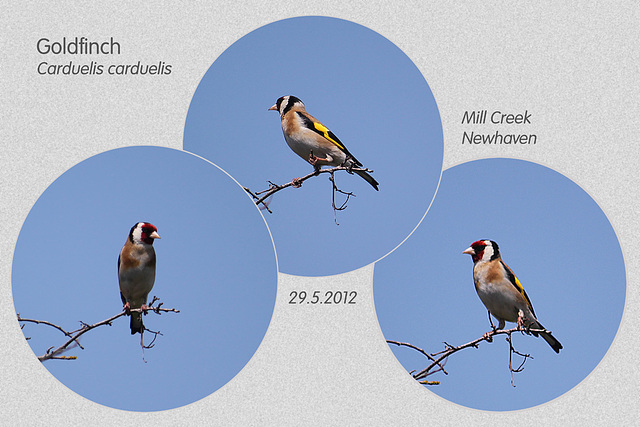 Goldfinch - Mill Creek - Newhaven - 29.5.2012