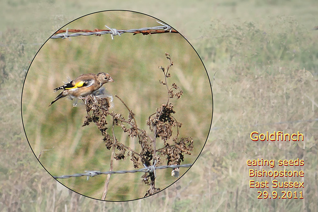 Goldfinch - possibly female or immature - Bishopstone - 29.9.2011